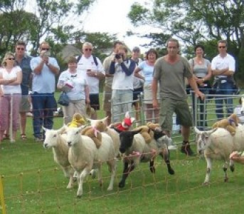 Sark_sheep_race.jpg